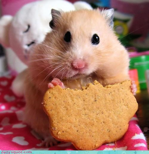 caught chubby cookies diet guilty hamster noms stealing - 4546675200