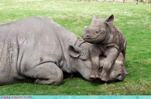 acting like animals baby covering eyes hide and seek hiding mother rhino rhinoceros seeking - 4546725376