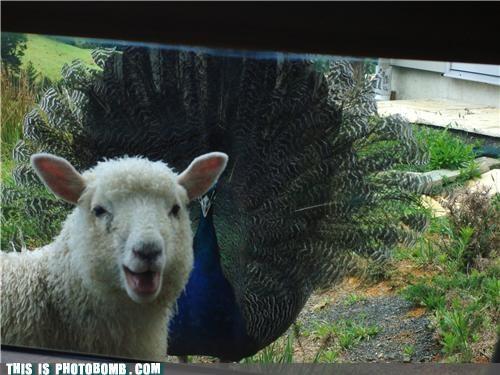 animals awesome peacocks photobomb sheep - 4546775552