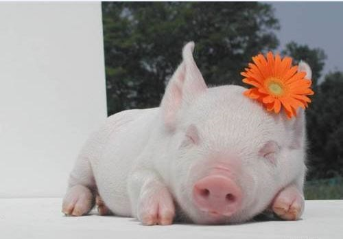 baby big bang theory Flower happy oink parody pig piglet sleeping sleepy song squee spree - 4554331648