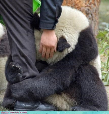 acting like animals bear begging dont-go panda panda bear pleading Sad
