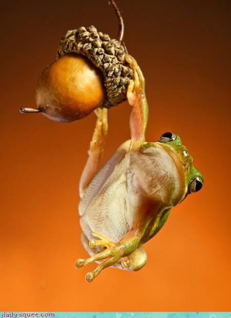 acorn acting like animals amphibian ashamed contradiction dangling frog - 4556125952