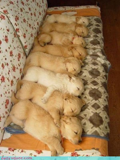 asleep cuddling equation exponent labrador labrador retriever math multiplication puppies puppy sleeping