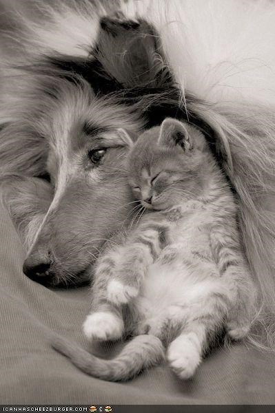 aww,dogs,goggies r owr friends,Interspecies Love,lassie,nap,napping,sleeping,squee