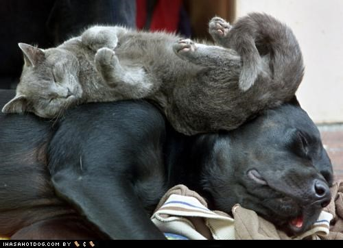 asleep cat cuddling friends friendship kittehs r owr friends mastiff mixed breed napping Pillow sleeping - 4557383680