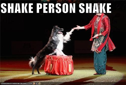 border collie,Command,human,performing,person,shake,shaking,show,trick