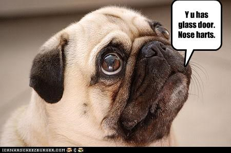 accident door face flat glass door has nose pain pug question why - 4558234880