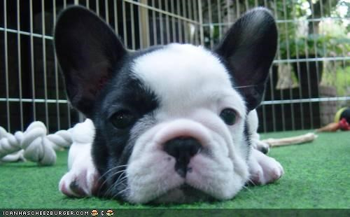 bored boring cyoot puppeh ob teh day french bulldogs just saying momma puppy Sad - 4558252544