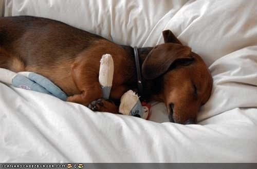 asleep cuddling cyoot puppeh ob teh day dachshund puppy sleeping snuggling stuffed animal toy