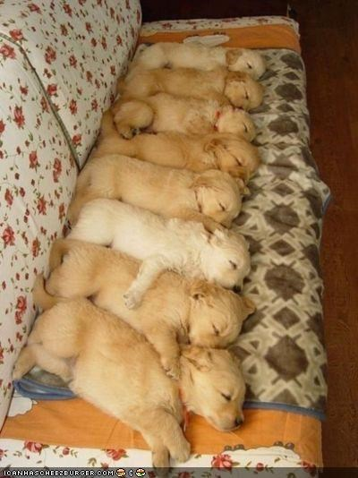 8 asleep cyoot puppeh ob teh day eight labrador lined up napping puppies puppy sleeping - 4558268928
