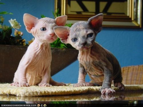 au natural,cyoot kitteh of teh day,hairless,kitten,sphynx,two cats,wrinkles,wrinkly