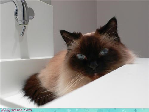 17 years old cat coco farewell goodbye himalayan love remembering rest in peace story - 4559151872