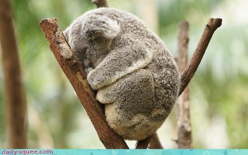 asleep,do not want,early,koala,koala bear,morning,morning routine,sleeping,too early