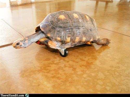 animals cute turtle wheels wtf - 4560542976