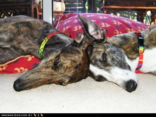 competing,competition,greyhound,greyhounds,head,head to head,napping,themed goggie week