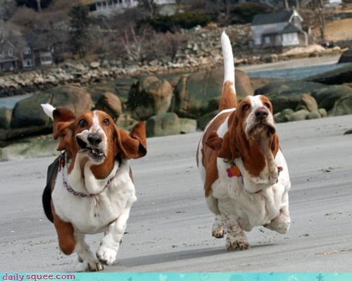 acting like animals bad idea basset hound basset hounds frustrated idea race racing running training wind wrinkles - 4562191360