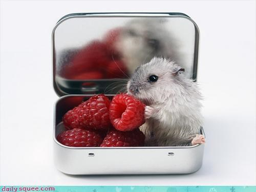 candy comparison cute eating hamster miniature noms raspberries raspberry sweet sweeter - 4562212864