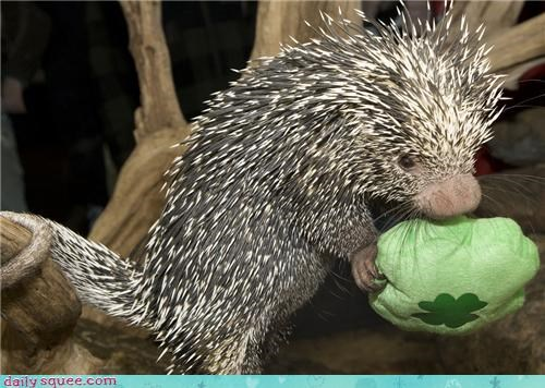 celebrating coendou happy holiday noms porcupine prehensile tail saint-patricks-day shamrock shape toy - 4564313600