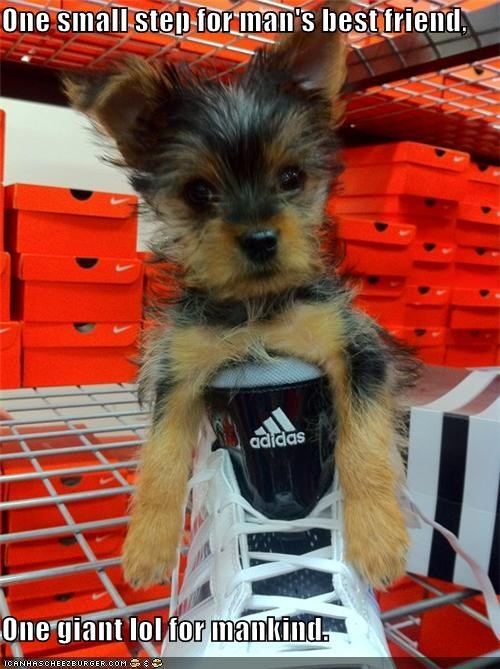famous quote,giant,lol,mankind,one,puppy,quote,shoe,small,step,stuck,yorkshire terrier