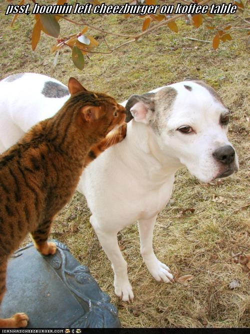 cat cheeseburger human left location noms pit bull pitbull psst table tip whispering - 4564850432