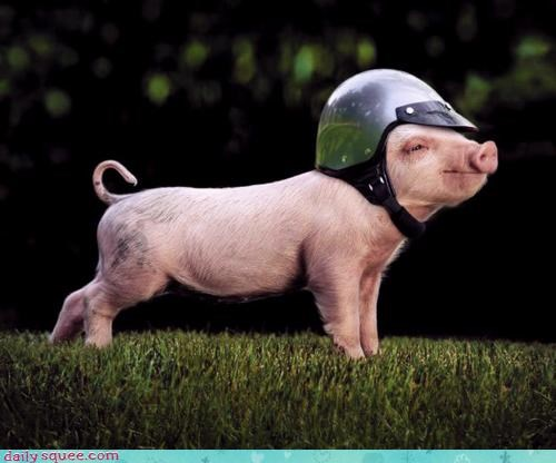 baby,easy rider,end,helmet,motorcycle,pig,piglet,ready,rider,riding,squee spree