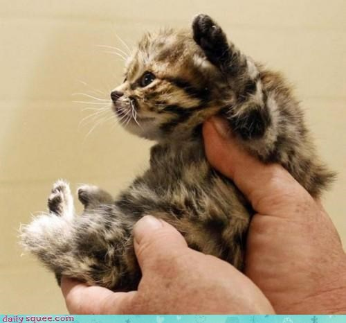 acting like animals adorable cat endangered species kitten science success - 4565486080