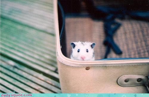 carry on hamster luggage question suitcase tiny Travel travelling vacation