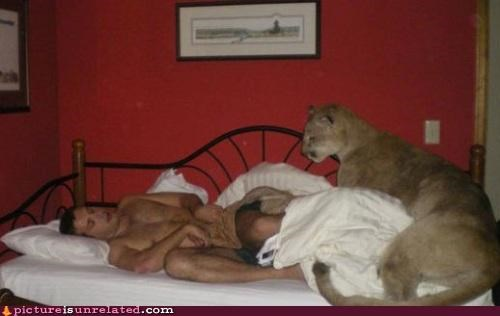cougar sleeping wtf - 4566376704