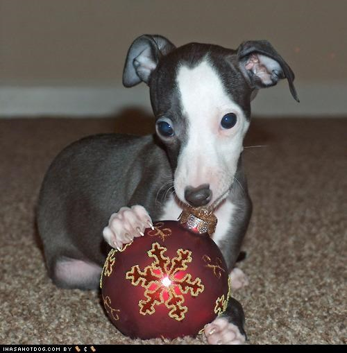 bulb confused greyhound nom nomming noms not ornament puppy themed goggie week - 4567470080