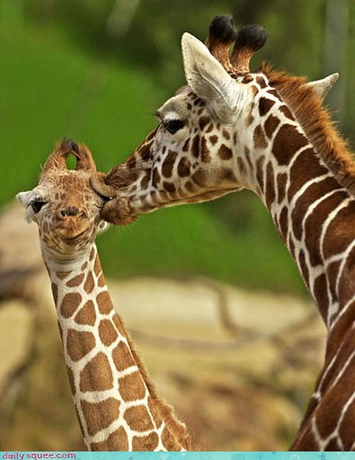 acting like animals baby do not want giraffes KISS kisses kissing love mother pain painful - 4568559104