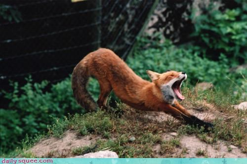 day do not want fox greeting morning stretching waking up yawning - 4568702976