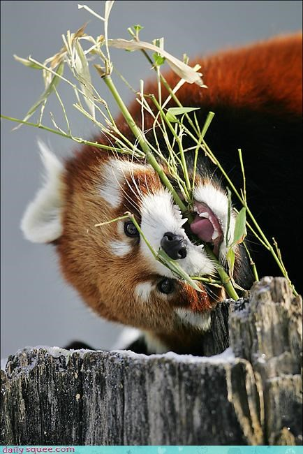adorable,biting,eating,food,gnawing,noms,omnomnom,red panda,teeth,upside down