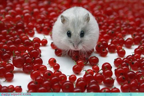 amazed berries deliciousness elated equation excited hamster happy noms paralyzed pygmy hamster squee tiny wide eyed