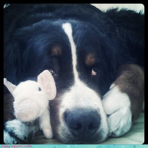 afraid,Beauty and the Beast,bernese mountain dog,dogs,peeking,puppy,scared