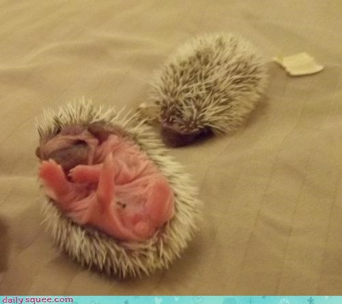 Babies baby hedgehog hedgehogs itty bitty newborn pincushion pink question quills resemblance tiny