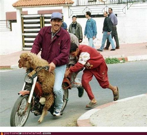 moped,party time,sheep,wtf