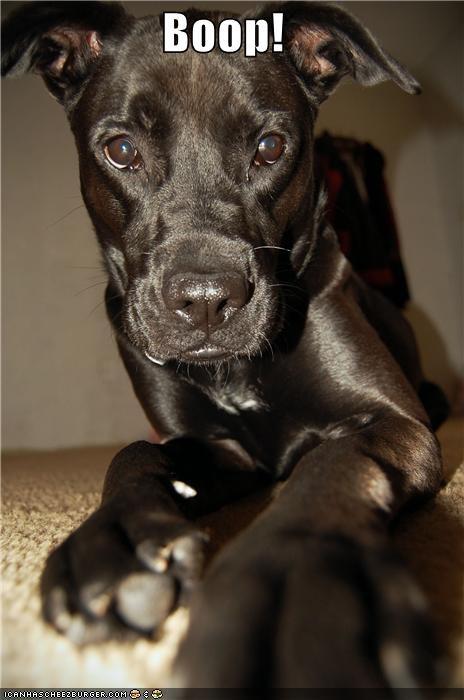 boop booping close up labrador nose puppy - 4576765184