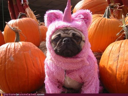 costume pug pumpkins unicorn