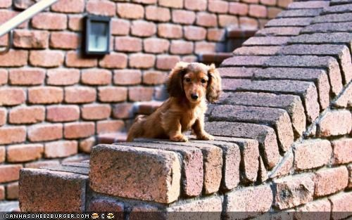 afraid climb climbing cyoot puppeh ob teh day dachshund heights protesting railing stairs - 4577610240