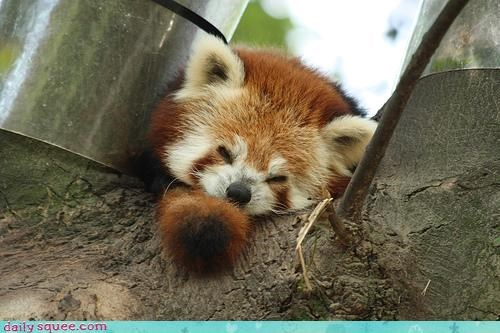 asleep,bamboo,breakfast,coaxing,red panda,rise and shine,sleeping,waiting,wake-up call