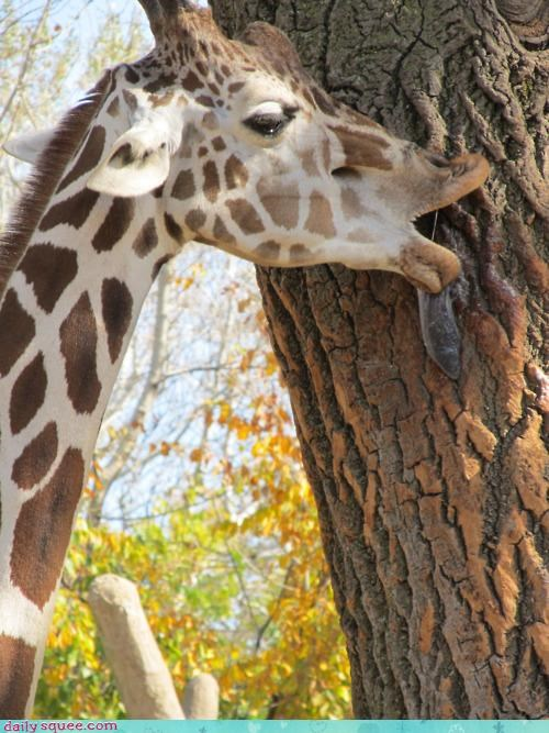 acting like animals excited giraffes KISS licking nervous practicing tongue tree worried - 4580977152
