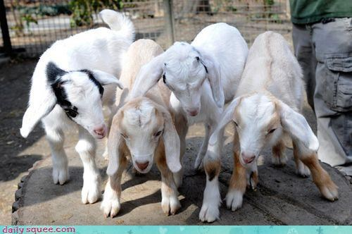 Babies baby goat goats knock-kneed new newborn squee squee spree tiny - 4580988928