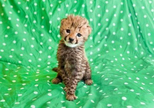 Adorable Animal,adorbz,Busch Gardens,cheetah