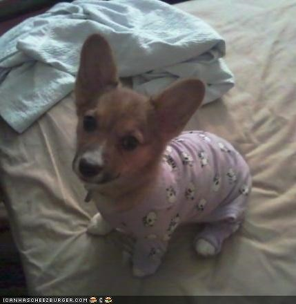 corgi,cyoot puppeh ob teh day,lazy,pajamas,puppy,sunday,Sundog