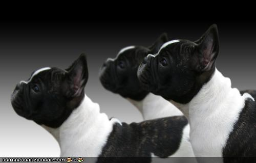 begging cyoot puppeh ob teh day french bulldogs puppies puppy synchronized - 4583771136