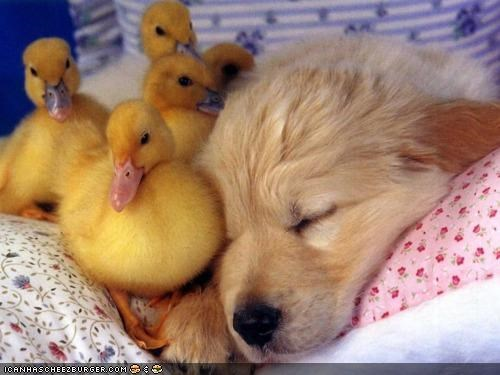 cuddling,cutest,cyoot puppeh ob teh day,duckling,ducklings,golden retriever,puppy,sleeping,ugly