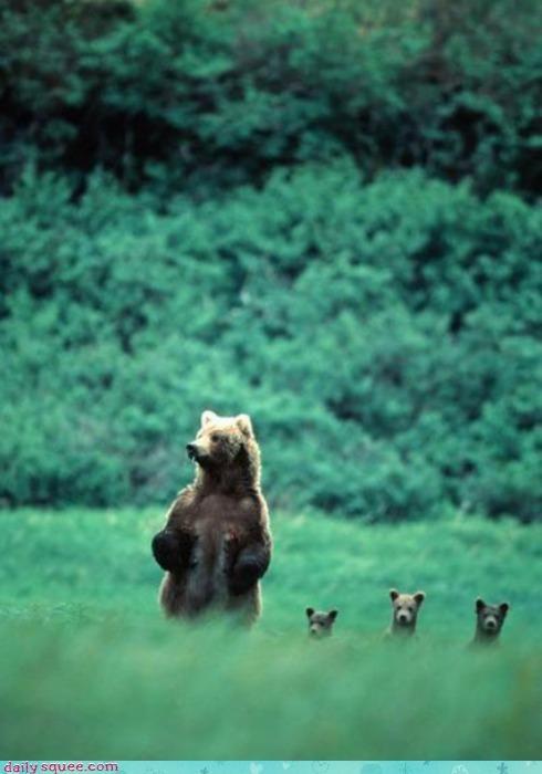 acting like animals bear bears confused cub cubs meerkat Meerkats posing pretending species standing - 4584055552