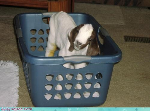 baby,basket,confused,get out,goat,laundry,squee spree