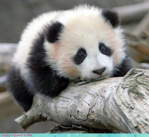 announcement,attention,baby,branch,cute,monorail,now boarding,panda,panda bear