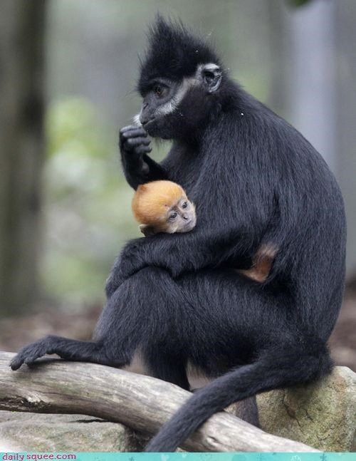 baby cuddling excuse justification languor languoring langur mother pun - 4584089344